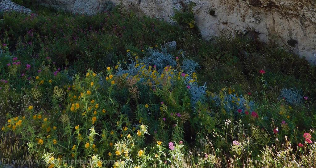 Les fleurs du Frioul